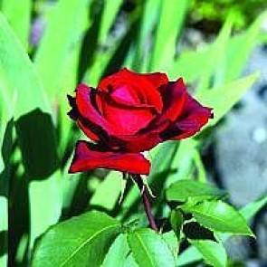 Storblomstret rose (Rosa 'Erotika' ®) - Barrodsrose - A-kval. Sælges kun i bundter a 5 stk