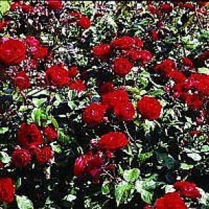 Buketrose (Rosa 'Europeana') - Buketrose i 4 l potte