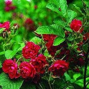 Buskrose (Rosa 'F.j. Grootendorst') - Barrodsrose A-kvalitet - Sælges kun i bundter á 5 stk