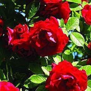 Slyngrose (Rosa 'Flammentanz') - Barrodsrose -A-kval. Sælges kun i bundter a 5 stk