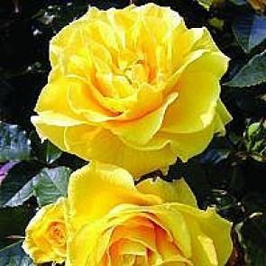 Buketrose (Rosa 'Friesia' ®) - Buketrose i 4 l potte