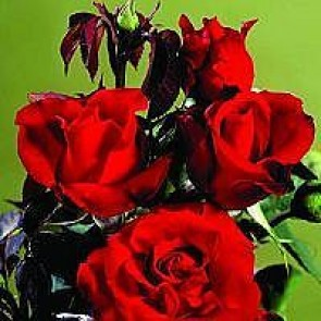 Storblomstret rose (Rosa 'Gisselfeld' (n)) - A-kval. Barrodet Sælges kun i bundter a 5 stk