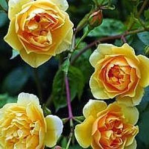 Engelsk rose (Rosa 'Graham Thomas') - Barrodsrose. A-kval. Sælges kun i bundter a 5 stk