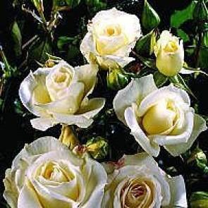 Buketrose (Rosa 'Gråsten') - Buketrose i 4 l potte