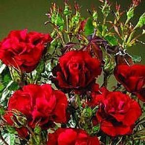 Buketrose (Rosa 'H.C.Andersen') - Buketrose i 4 l potte