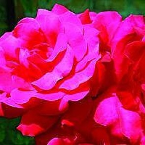 Slyngrose (Rosa 'Heidelberg') - Slyngrose i 4 l potte
