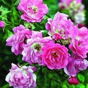 Bunddækkende rose (Rosa 'Heidetraum' ®) - Barrodsrose A-kvalitet. Sælges kun i bundter a 5 stk