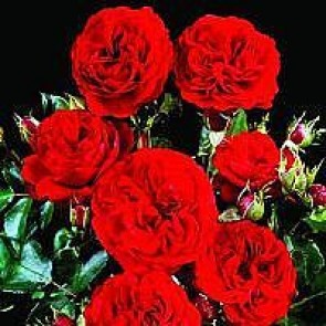 Buketrose (Rosa 'Kronborg') - Slotsrose i 4 l rose