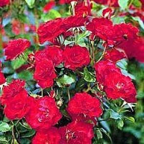 Buketrose (Rosa 'La Sevillana' ®) - Buketrose i 4 l potte