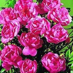 Bunddækkende rose (Rosa 'Lavender Cover') - Towne- & Countryrose i 4 l potte