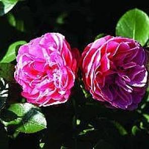 Floribunda rose (Rosa 'Leonardo Da Vinci') - Buketrose i 4 l potte