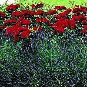 Buketrose (Rosa 'Lilli Marleen' ®) - 4L CO