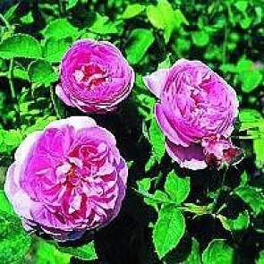 Bourbonrose (Rosa 'Louise Odier' ®) - Barrodsrose A-kvalitet - Sælges kun i bundter á 5 stk