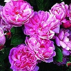 Engelsk rose (Rosa 'Mary Rose' ® ) - Barrodsrose. A-kval. Sælges kun i bundter a 5 stk