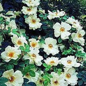 Mandarin rose (Rosa 'Nevada') - Buskrose i 4 l potte