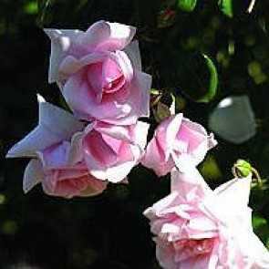 Slyngrose (Rosa 'Zéphirine Drouhin') - Barrodet A-kval. Sælges kun i bundter a 5 stk
