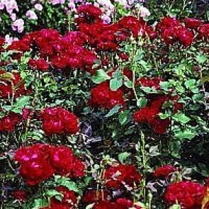 Floribundarose (Rosa 'Nina Weibull' ®) - Buketrose i 4 l potte