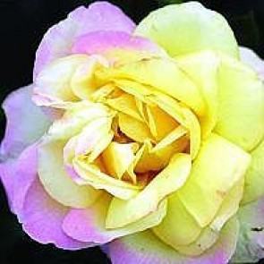Storblomstret rose (Rosa 'Peace') - Storblomstret rose i 4 l potte.