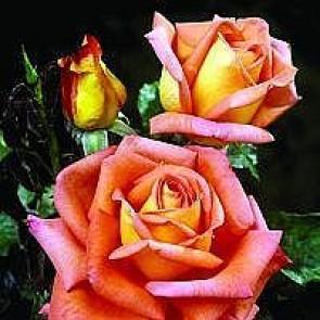 Storblomstret rose (Rosa 'Victor Borge' ®) - Barrodsrose A-kvalitet - Sælges kun i bundter á 5 stk