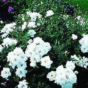 Bunddækkende rose (Rosa 'White Cover') - Towne- & Countryrose i 4 l potte