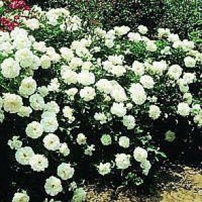 Bunddækkende rose (Rosa 'White Meidiland') - A-kval. Barrodet. Sælges kun i bundter på 5 stk