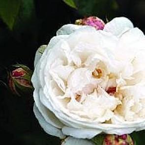 Engelsk rose (Rosa 'Winchester Cathedral') -Barrodsrose. A-kval. Sælges kun i bundter a 5 stk