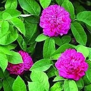 Gammeldags rose (Rosa 'Rose De Rescht' ®) - Barrodsrose A-kvalitet - Sælges kun i bundter á 5 stk
