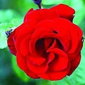 Slyngrose (Rosa 'Santana' ®) - Slyngrose i 4 l potte