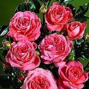 Buketrose (Rosa 'Schackenborg' ®) - Slotsrose i 4 l rose