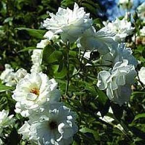 Polyantarose (Rosa 'Schneewittchen' ®) - Barrodsrose - A-kval. Sælges kun i bundter a 5 stk