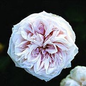 Bourbonrose (Rosa 'Souvenir De La Malmaison') - Historisk/sjælden sort i 4 l potte