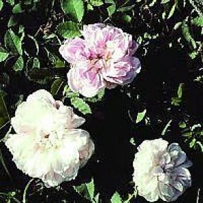 Buskrose (Rosa 'Stanwell Perpetual') - Historisk/sjælden sort i 4 l potte