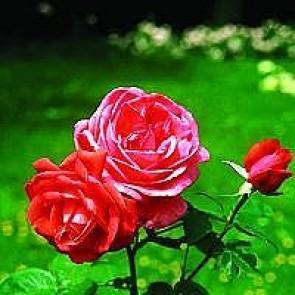 Storblomstret rose (Rosa 'Super Star' ®) - Barrodsrose A-kvalitet - Sælges kun i bundter á 5 stk