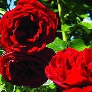 Slyngrose (Rosa 'Sympathie') - Slyngrose i 4 l potte