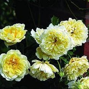 Engelsk rose (Rosa 'The Pilgrim' ® (auswalker)) - 4L CO