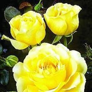 Storblomstret rose (Rosa 'Tivoli 150') - Barrodsrose A-kvalitet  - Sælges kun i bundter á 5 stk