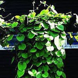 Tobakspibeplante (Aristolochia macrophylla) - 2 liter potte 60 cm