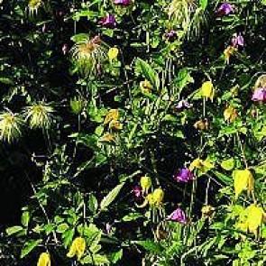 Guldklematis (Clematis tangutica) -2 liter potte 60 cm