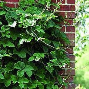Almindelig humle (Humulus lupulus  'Nordbrau') - 2 liter potte 60 cm