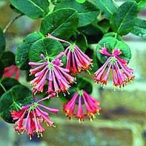 Kaprifolie (Lonicera brownii 'Dropmore Scarlet') -2 liter potte 60 cm