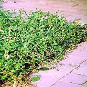 Dværgmispel (Cotoneaster radicans 'Rami') - P 10,5