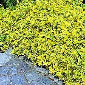 Krybende benved (Euonymus fortunei 'Emerald Gold') -  1½ liters potte
