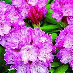 'Polaris' (Rhododendron 'Polaris') - Buske i 5 liters potte 30-40 cm