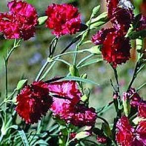 Havenellike (Dianthus caryophyllus 'Rød') - Staude i 10 x 10 cm potte