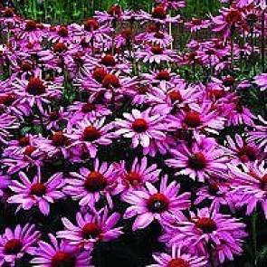 Purpursolhat (Echinacea purpurea 'Magnus') - Staude i 1 liter potte