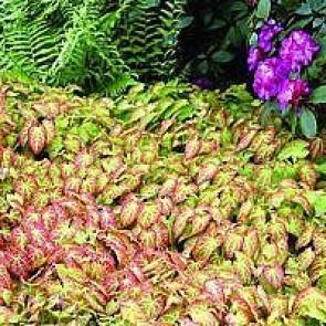 Stedsegrøn bispehue (Epimedium perralchicum 'Frohnleiten') - Staude i 10 x 10 cm potte