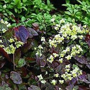 Bispehue (Epimedium versicolor) - Staude i 10 x 10 cm potte - Sælges kun i pakke á 3 stk.