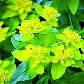 Forårs-vortemælk (Euphorbia polychroma) - Staude i 10 x 10 cm potte