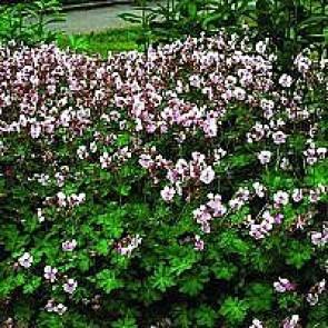 Storkenæb (Geranium cantabrigiense 'Biokovo') - Staude i 10 x 10 cm potte - Sælges kun i pakke á 3 stk.