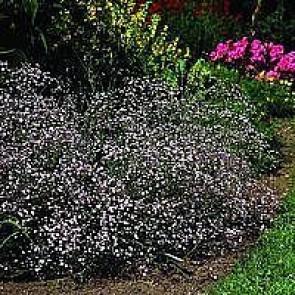 Brudeslør (Gypsophila 'Rosenschleier') - Staude i 10 x 10 cm potte